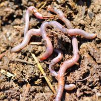 лечение алкоголизма дождевыми червями Настойка из дождевых червей для лечения от алкоголизма