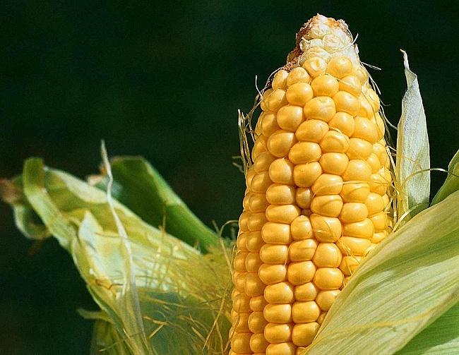 gmo kukuruza Народное лечение цирроза печени